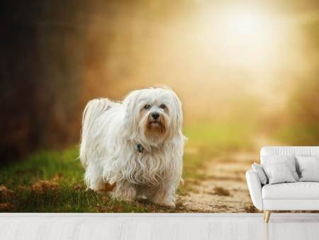 Fotobehang The Havanese