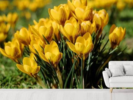 Photo Wallpaper Crocuses in spring