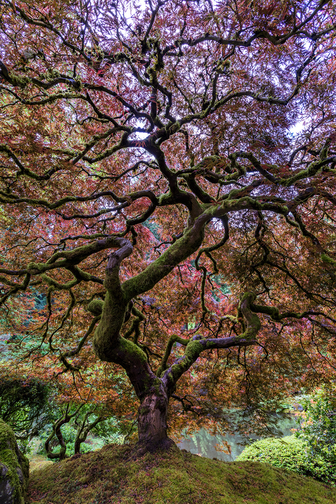 Papier peint photo Japanese Maple Tree