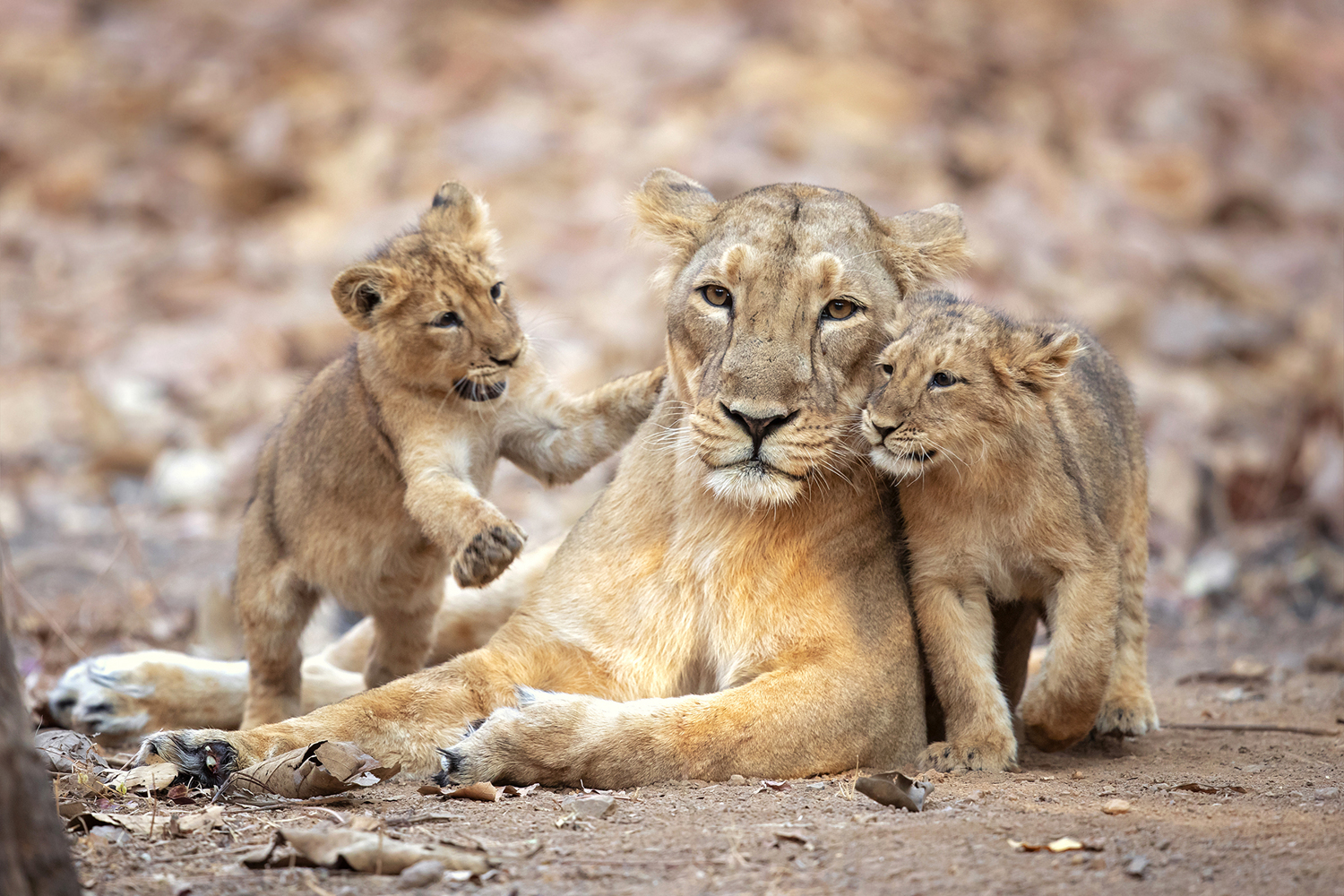Papier peint photo Asiatic Lioness