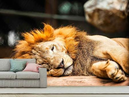 Fotobehang Relaxed Lion